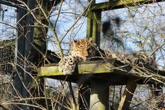 Leopardslut upp att sova på en plattform i träd royaltyfria foton