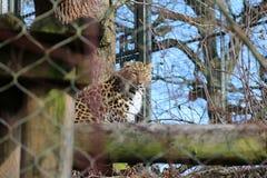 Leopardslut upp i ett träd arkivbilder