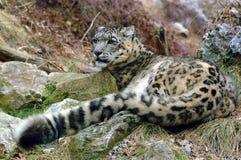 leopardsnow Royaltyfria Bilder