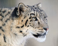 leopardsnow Royaltyfri Bild