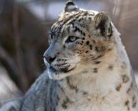 leopardsnow Royaltyfri Foto