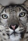leopardsnow Arkivfoto