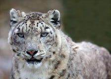 leopardsnow Arkivbilder