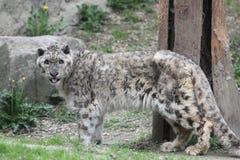leopardsnow Arkivfoton