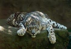 leopardsnow Royaltyfria Foton