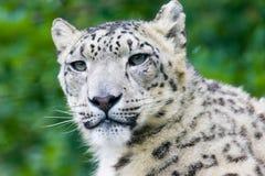 leopardsnow royaltyfri fotografi