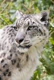 leopardsnow Arkivbild