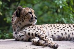 leopardstående Arkivfoton