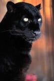 Leopardstående Royaltyfri Fotografi