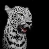 Leopardstående arkivfoto