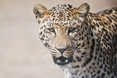 Leopardstående Sydafrika arkivbilder