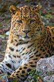 leopardstående royaltyfria bilder