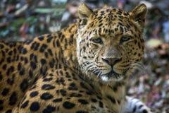 leopardstående royaltyfri bild