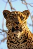 leopardtree Arkivfoto