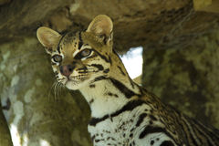 Leopardus pardalis Royalty Free Stock Image