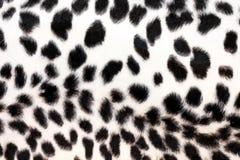 leopardwhite Royaltyfri Fotografi