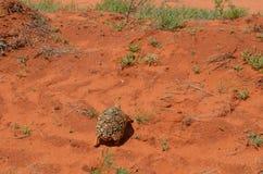 Leopars tortoise , Kenya. Leopard tortoise walks the red earth , Kenya Royalty Free Stock Photography