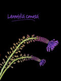 Leopoldia comosa aka Muscari comosum - wild flower Stock Photography