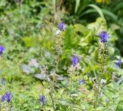 Leopoldia comosa Royalty Free Stock Photo