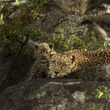 Leoprad and her cubs resting on rocks, Serengeti, Tanzania Stock Photos