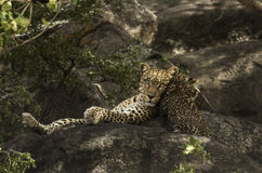 Leoprad and her cubs resting on rocks, Serengeti, Tanzania Royalty Free Stock Photos
