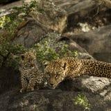 Leoprad i jej lisiątka odpoczywa na skałach, Serengeti, Tanzania Fotografia Royalty Free