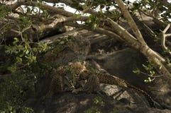 Leoprad i jej lisiątka odpoczywa na skałach, Serengeti, Tanzania Obrazy Stock