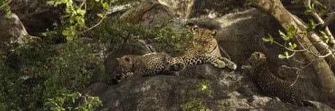 Leoprad i jej lisiątka odpoczywa na skałach, Serengeti, Tanzania Obraz Stock