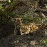 Leoprad i jej lisiątka odpoczywa na skałach, Serengeti, Tanzania Zdjęcia Royalty Free