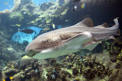 Leopshark Royalty Free Stock Images
