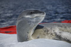 lepard seal Royaltyfri Fotografi