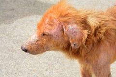 Leper собаки Стоковое Фото