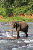 Еlephant in the river Royalty Free Stock Photo