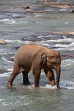 Еlephant in the river Stock Photo