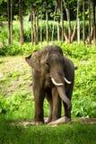 Lephant si leva in piedi nel mezzo della foresta Immagine Stock