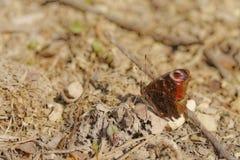 Lepidópteros de la macro de la mariposa agradable Imagen de archivo