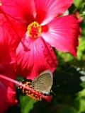 Lepidópteros sobre hibiscos rojos Imagenes de archivo