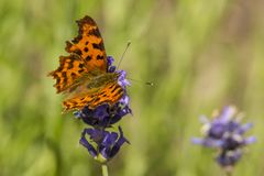 Butterfly, Lepidoptera. A insect with very fragile wings stock images