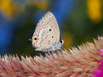 Lepidoptera on Celozja Royalty Free Stock Images