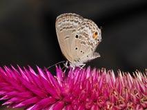 Lepidoptera on Celozja Stock Image