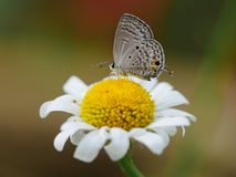 Lepidoptera na stokrotce Zdjęcia Stock