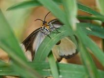 Lepidoptera Stock Image