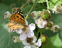 Lepidoptera of small tortoise shell butterfly (Latin name -  aglais urticae) proboscis collects nectar Royalty Free Stock Photos