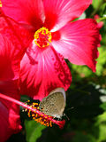 Lepidoptera sobre hibiscus vermelhos Imagens de Stock