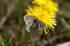 Lepidoptera & Taráxacum Royalty Free Stock Photography