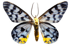 Lepidoptera Tranduc Royalty Free Stock Images