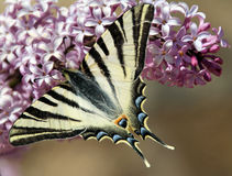 Lepidopteraschmetterling Stockfotografie