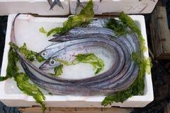 Lepidopus caudatus in market. Lepidopus caudatus, pesce bandiera in italian, at fish market,Naples stock photography