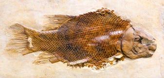 Lepidotes Maximus,从罗纪的一条绝种鱼化石  图库摄影