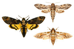 Lepidotteri Immagine Stock